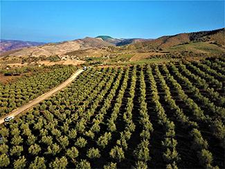 الاستثمار في أراضي الزيتون