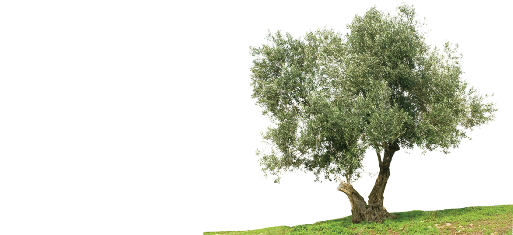 شجرة الزيتون